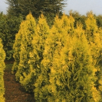 Vakarinė tuja (Thuja occidentalis) 'Europe Gold'