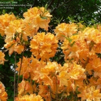 Azalija (Rhododendron) 'Golden Lights'