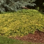 Horizontalusis kadagys (Juniperus horizontalis) 'Golden Carpet'